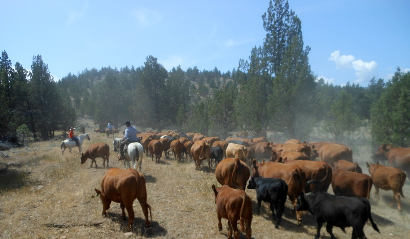 Oregon cattle drive at Long Hollow Ranch